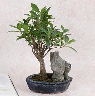 Japon ağacı Evergreen Ficus Bonsai  Ordu çiçek yolla , çiçek gönder , çiçekçi