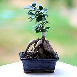 Marvellous Ficus Microcarpa ginseng bonsai  Ordu çiçekçiler
