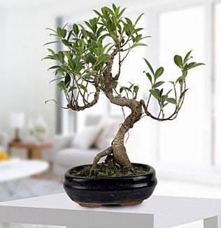 Gorgeous Ficus S shaped japon bonsai  Ordu kaliteli taze ve ucuz çiçekler