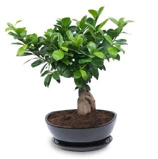 Ginseng bonsai ağacı özel ithal ürün  Ordu çiçekçi mağazası