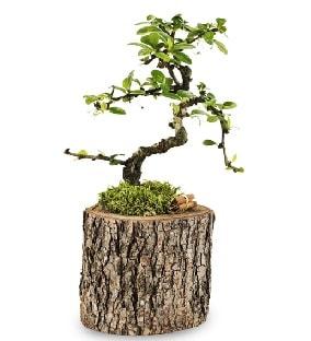 Doğal kütükte S bonsai ağacı  Ordu çiçek gönderme