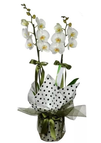 Çift Dallı Beyaz Orkide  Ordu cicekciler , cicek siparisi