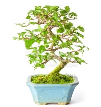 S zerkova bonsai kısa süreliğine  Ordu online çiçekçi , çiçek siparişi