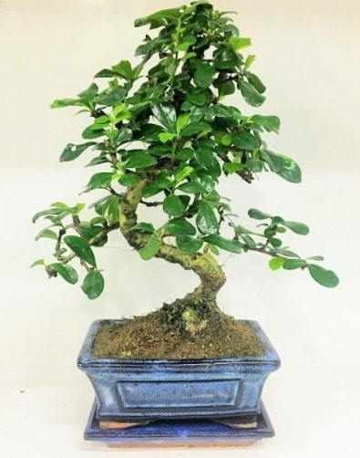 S Bonsai japon ağacı bitkisi  Ordu cicek , cicekci
