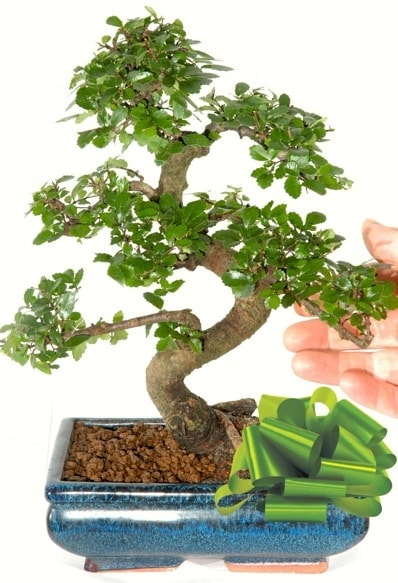 Yaklaşık 25 cm boyutlarında S bonsai  Ordu hediye çiçek yolla