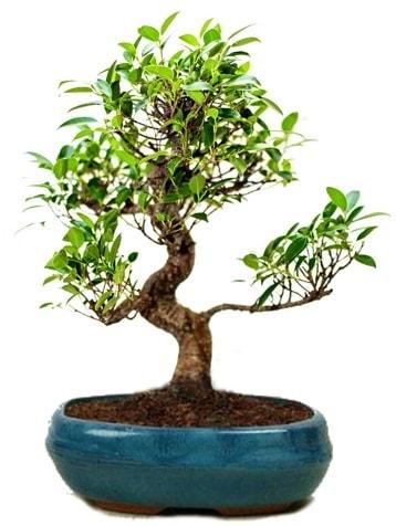 25 cm ile 30 cm aralığında Ficus S bonsai  Ordu çiçek yolla , çiçek gönder , çiçekçi