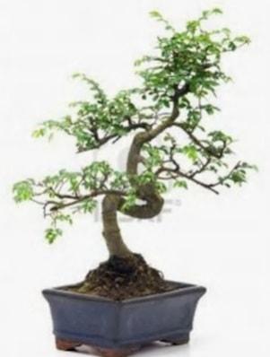 S gövde bonsai minyatür ağaç japon ağacı  Ordu çiçek gönderme