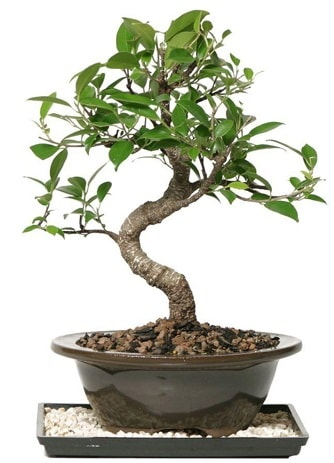 Altın kalite Ficus S bonsai  Ordu çiçek yolla  Süper Kalite