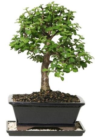 15 cm civarı Zerkova bonsai bitkisi  Ordu hediye çiçek yolla