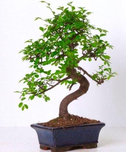 S gövdeli bonsai minyatür ağaç japon ağacı  Ordu çiçek yolla , çiçek gönder , çiçekçi