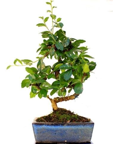 S gövdeli carmina bonsai ağacı  Ordu İnternetten çiçek siparişi  Minyatür ağaç