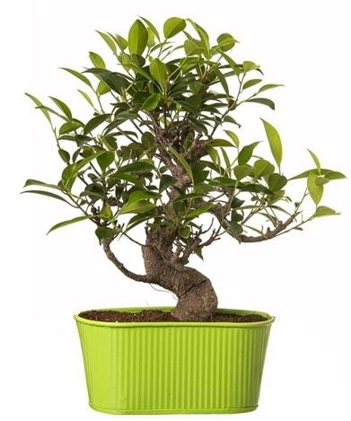 Ficus S gövdeli muhteşem bonsai  Ordu hediye çiçek yolla