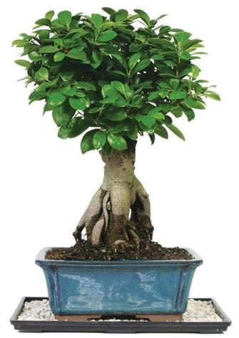 Bonsai Ginsing Grafted Ficus Bonsai  Ordu İnternetten çiçek siparişi