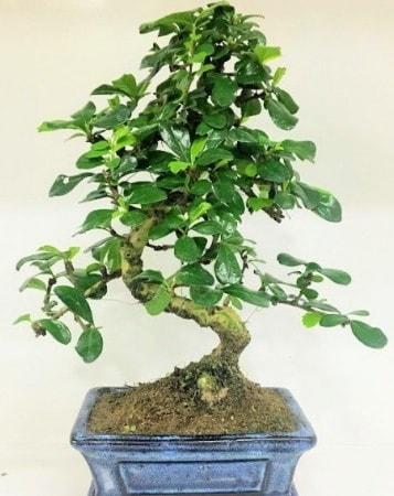 Zelkova S gövdeli Minyatür ağaç Bonzai  Ordu çiçek gönderme sitemiz güvenlidir