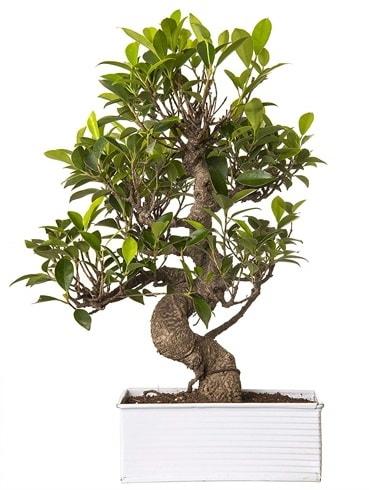 Exotic Green S Gövde 6 Year Ficus Bonsai  Ordu çiçek yolla , çiçek gönder , çiçekçi