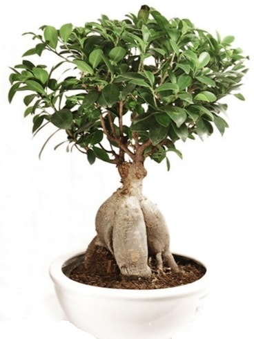 Ginseng bonsai japon ağacı ficus ginseng  Ordu online çiçekçi , çiçek siparişi